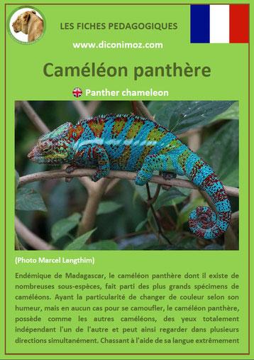 fiche animaux reptile pdf cameleon panthere à telecharger et a imprimer