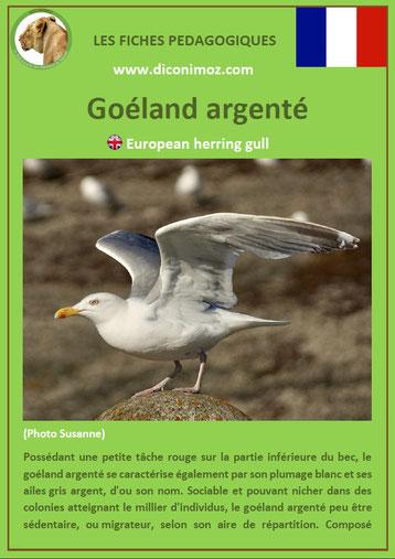 iche animaux pdf pedagogique oiseaux goeland argente a telecharger et a imprimer