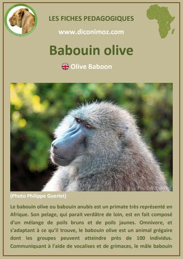 fiche animaux pdf afrique babouin olive anubis habitat poids taille repartition alimentation reproduction comportement