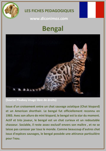 fiche animal animaux de compagnie chat bengal comportement caractere origine