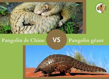ne confondez plus le pangolin de chine et le pangolin geant