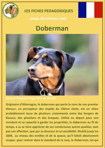 fiche chien pdf doberman origine caractere comportement poil
