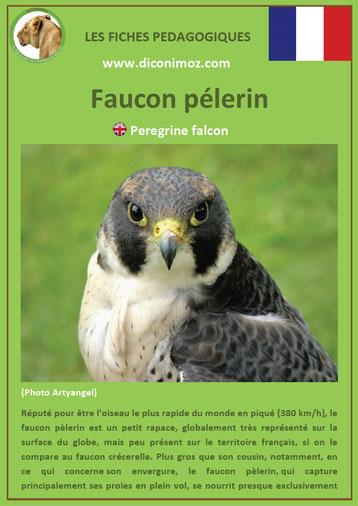 fiche animaux pdf rapaces faucon pelerin a telecharger et a imprimer