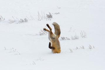renard roux tete dans la neige animal snow fox
