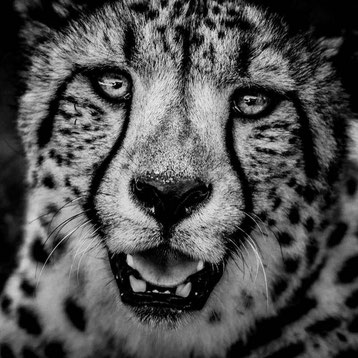 Guepard laurent baheux