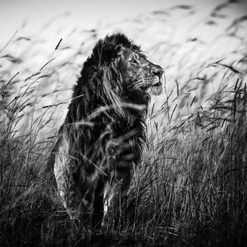 Lion dans l'herbe noir et blanc