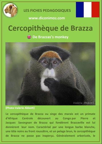 fiche animaux pdf singes cercopitheque de brazza