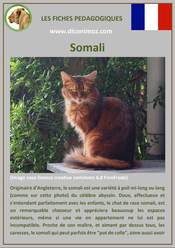 fiche chat pdf race somali comportement caractere origines poil sante couleur