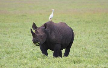ne confondez plus le rhinoceros noir et le rhinoceros blanc