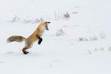 renard roux qui saute  dans la neige animaux drole cute fox funny