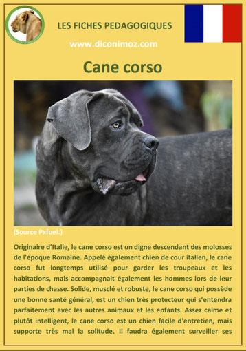 fiche chien pdf race cane corso comportement origine caractere soin poil