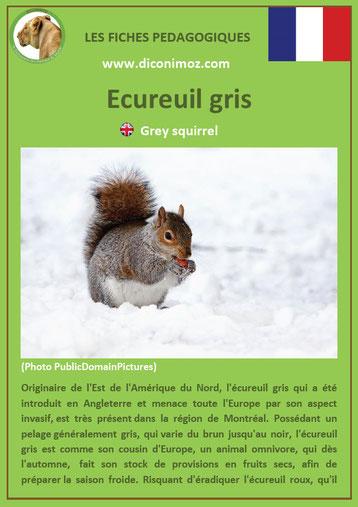 fiche animaux ecureuil gris taille poids habitat longevite repartition comportement