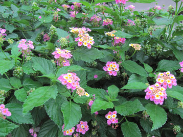 紫陽花は種類も多く、品種改良されるため図鑑にない物も多く約3000種とも言われている