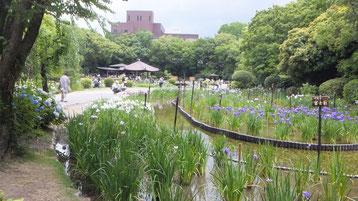 城北公園内の菖蒲園