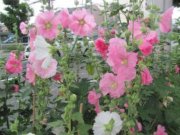 歩道の植え込みの葵