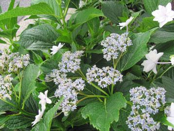 梅雨の季節によく似合う紫陽花
