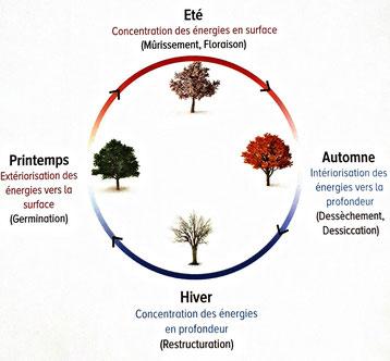 schéma des 4 saisons avec la circulation de l'énergie