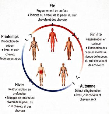 schéma des saisons et des énergies dans le corps