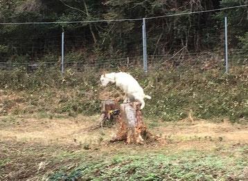 山羊は高いところに登って遊ぶのが好きと聞きますが…。本当ですねぇ…。