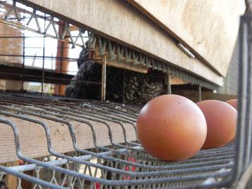 少し傾斜のついた巣箱で卵を産むと、コロコロと外に卵が転がってくる仕組みになってます。