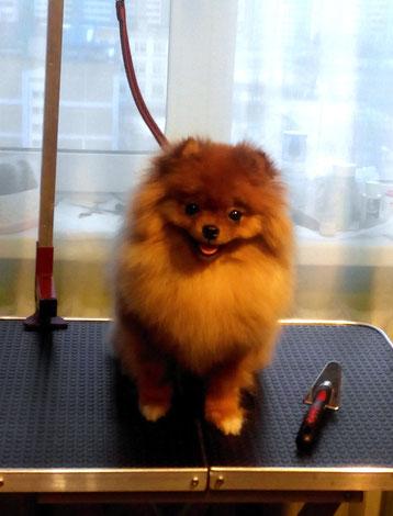 Pomeranian shpic Чайная Роза Gold Baby
