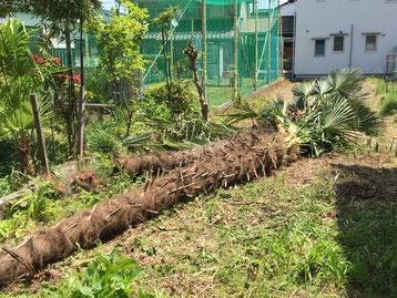 伐採したシュロの木二本