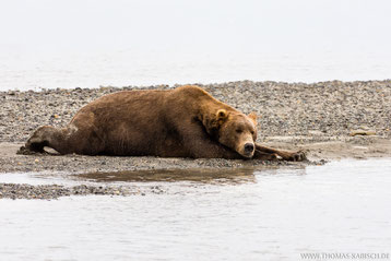 Bär im Katmai Nationalpark in Alaska