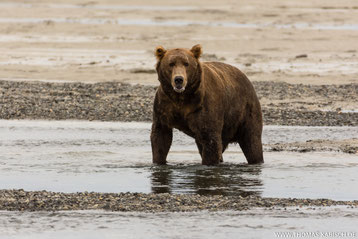 Bären fotografieren in Alaska Katmai
