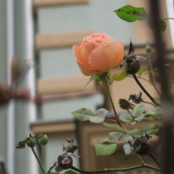 Januar-Rose in der Metzlerstraße