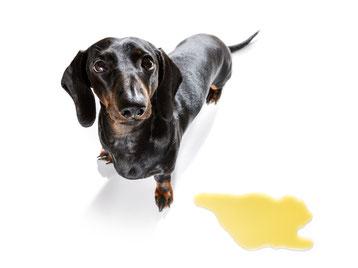 Incontinence urinaire chez le chien
