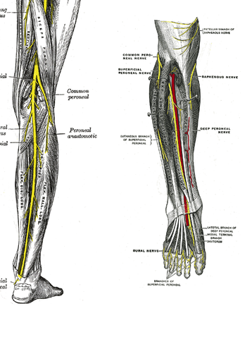 course of the common peroneal nerve