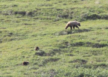Une femelle grizzli et ses 2 oursons