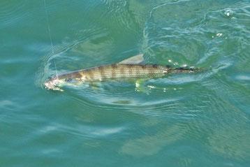 Cortez Bonefish caught in San Diego Bay