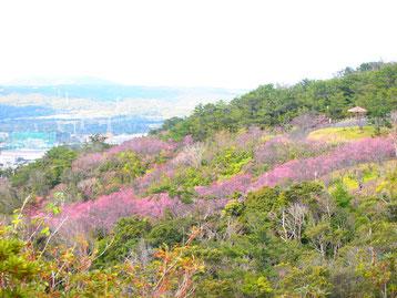 満開の桜で桃色に色づく名護岳