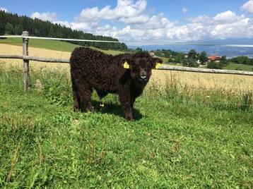 Callach Dubh vom Kraigerberg mit 1 1/2 Monaten