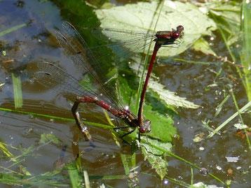 Libellen, wie hier ein Paar der frühen Adonislibelle bei der Eiablage, finden in der Naturoase einen vielfältigen Lebensraum vor