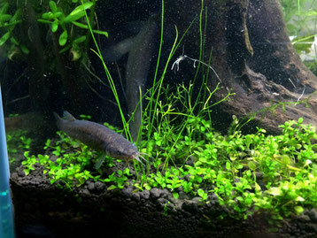 ホトケドジョウは水草を好みます
