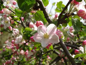 Apfelblüten im Frühling symbolisieren den Start ins hauptberufliche Texten