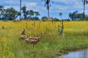 Lechwe-Antilopen