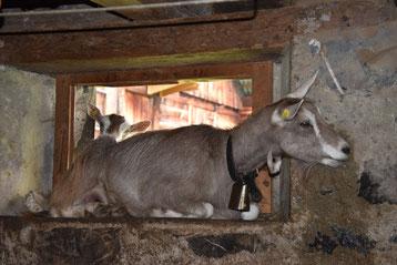 Ziege im Kuhstall