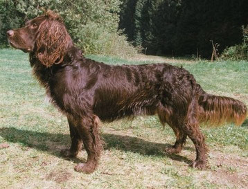 Spaniel Tedesco (Wachtelhund)