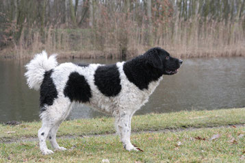 Spaniel Olandese (Wetterhoun)