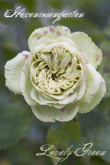 Rosen Rosenblog Hexenrosengarten Rosiger Adventskalender Beetrose Lovely Green Meilland