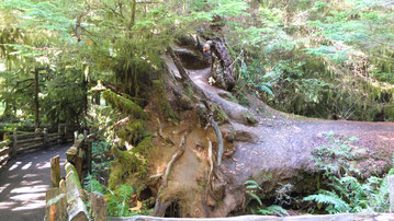 umgestürzter Baumriese in Cathedral Grove