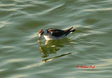 Das Odinshühnchen (Phalaropus lobatus) gehört zu den Wassertretern und damit zu den Limikolen. Das Odinshühnchen lebt außerhalb der Brutzeit sehr gerne auf dem Meer und zählt somit zu den pelagischen Vogelarten..