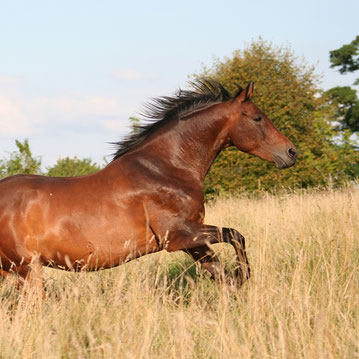 Pferd galloppiert über eine Herbstwiese