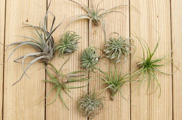 How To Revive Air Plants, from watering to pruning by PASiNGA blog