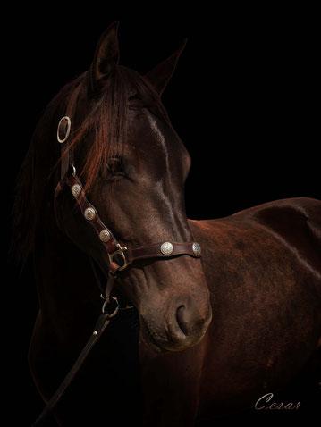 Purebred Canadian Horses