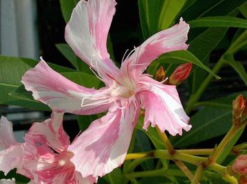 Nerium Oleander Kewpie