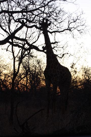 giraffe bij zonsopkomst